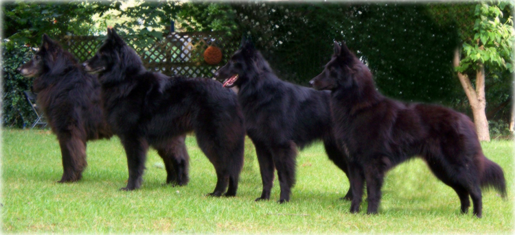 Black Gold Belgian Sheepdogs